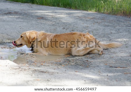 Fun Golden Retriever cooling down in a mud puddle on a hot day. Dog's tongue - stock photo