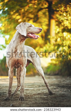 fun weimaraner dog puppy trick in autumn nature - stock photo