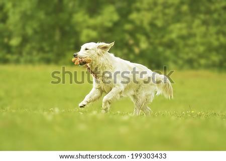 fun young beautiful golden retriever dog puppy running in summer nature - stock photo