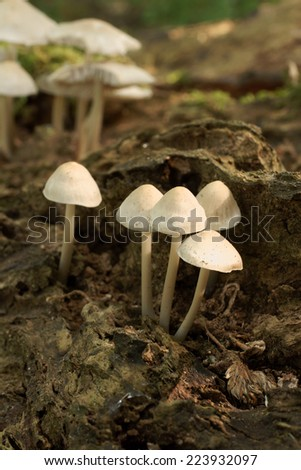Fungi species commonly known as the common bonnet, the toque mycena, or the rosy-gill fairy helmet. - stock photo