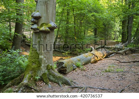 Fungus and moss growing on a tree trunk in a peaceful forest in the Ardennes, Belgium - stock photo