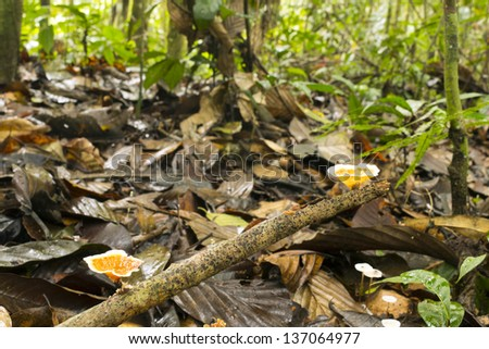 Fungus Aquascypha hydrophora growing on the rainforest floor, Ecuador. - stock photo