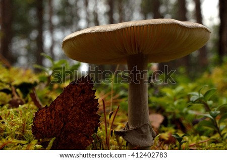 fungus, mushroom in autumn forest with brown leaf beside it macro photo - stock photo