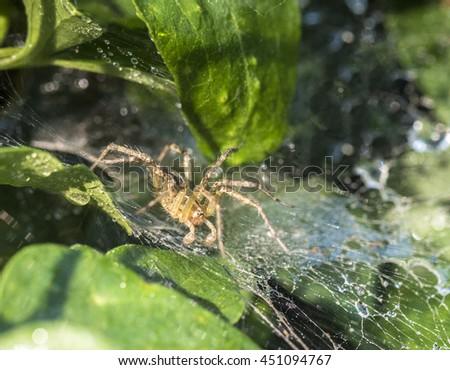 Funnel Weaver Spider waiting for prey in web in garden - stock photo