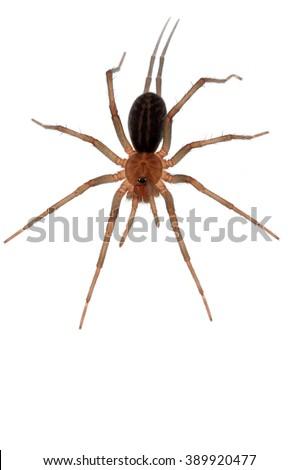 Funnel-web tarantula Linothele megatheloides isolated on white - stock photo
