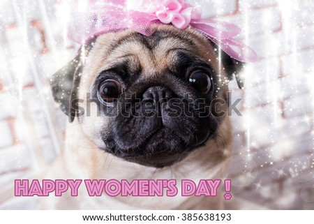 Funny and cute dog pug congratulates on women's day and the beginning of spring in front of a white brick wall. Selective focus. Toned image. - stock photo