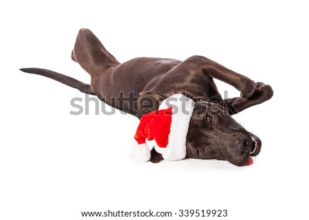 Funny and playful young Labrador dog wearing a Santa hat laying on side over white - stock photo