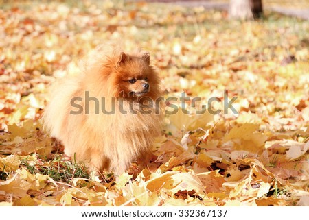 Funny autumn pomeranian dog. Dog in autumn park. Pomeranian in autumn yellow leaves - stock photo