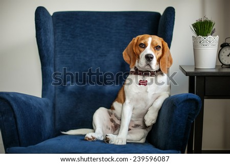Funny beagle dog sitting in the chair like a boss - stock photo