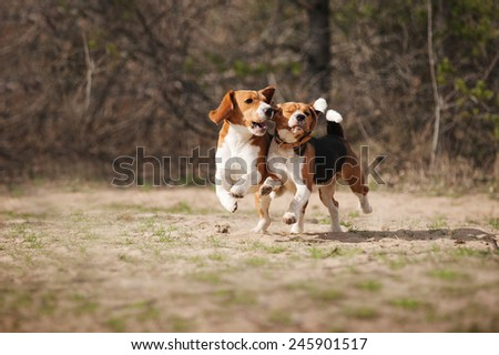 funny beagle dogs running together in spring - stock photo