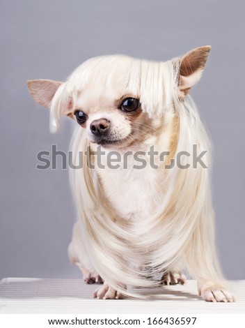 funny beautiful chihuahua dog in blond wig - stock photo