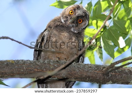 funny bird on branch, long eared owl ( Asio otus ) - stock photo