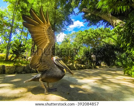 Funny black pelican flapped its wings before flight - stock photo