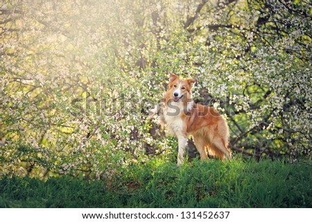 funny border collie dog playing on a background of white flowers in spring - stock photo
