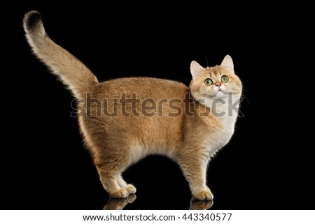 Funny British Cat Gold Chinchilla color with Green eyes Standing and Curious Looks, Raising up Tail, Isolated Black Background, Side view - stock photo