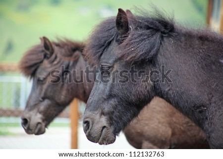 Funny  brown horses at farm, taken in Swiss Alps - stock photo