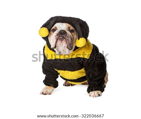 Funny Bulldog breed dog dressed in a Halloween bumble bee costume with an upset expression - stock photo