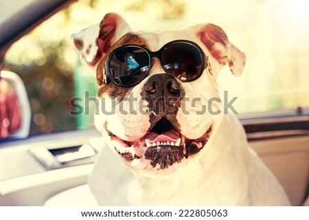 funny bulldog in sunglasses in the car - stock photo