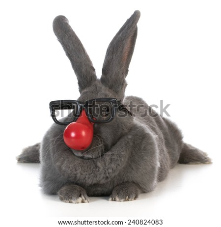 funny bunny - giant flemish rabbit wearing clown nose and glasses on white background - stock photo