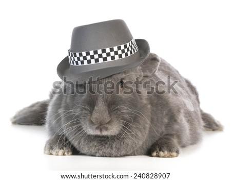 funny bunny - giant flemish rabbit wearing fedora on white background - stock photo