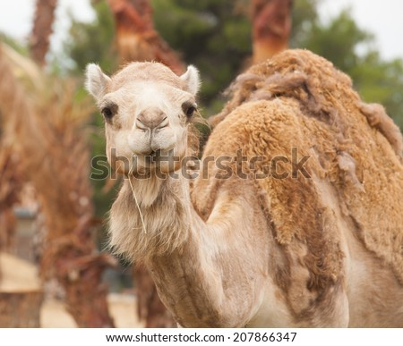 funny camel prude mouth - stock photo