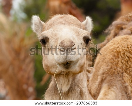 funny camel prude mouth portrait - stock photo