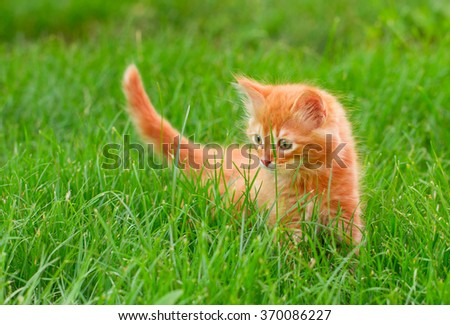 Funny Cat in the Green Grass in Summer. Beautiful Red Cat with Green Eyes - stock photo