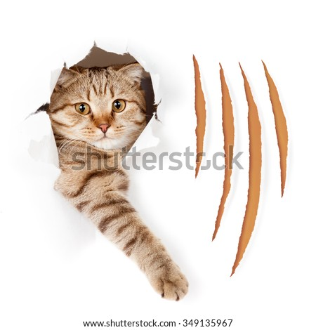Funny cat in torn wallpaper hole with claw cuts isolated - stock photo
