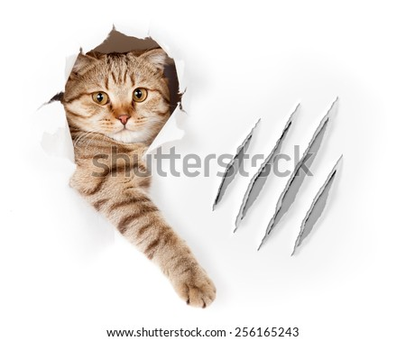 Funny cat in wallpaper hole with claw scratches isolated - stock photo