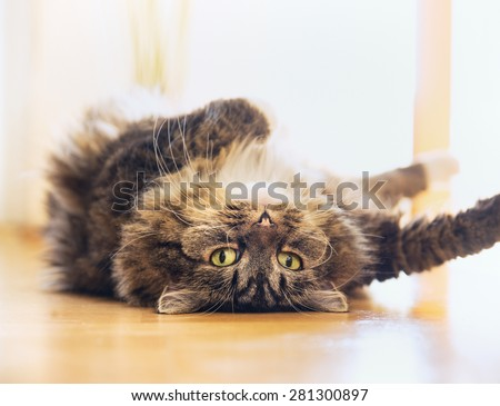 Funny cat is lying relaxed on his back and  looking playful  into the camera, indoor - stock photo