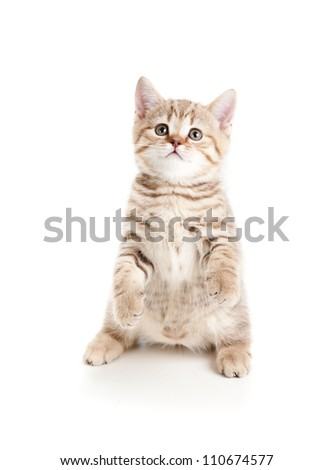 funny cat kitten standing on hind legs - stock photo