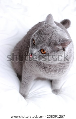 funny cat shows tongue - stock photo
