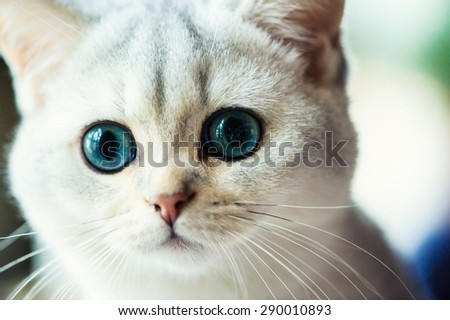 Funny cat with blue eyes - stock photo