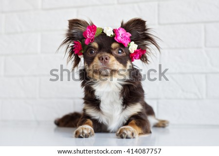 funny chihuahua dog in a flower crown - stock photo