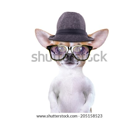Funny chihuahua in stylish hat. Little dog in stylish sunglasses. Funny animals - stock photo