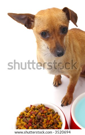 Funny chihuahua looks at the camera with one ear perked up. Focus is on dog's face, with food and water dishes slightly out of focus. - stock photo