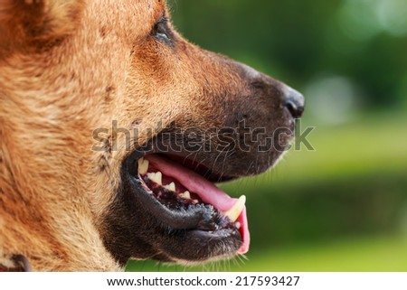 Funny closeup of a cute Thai dog - stock photo