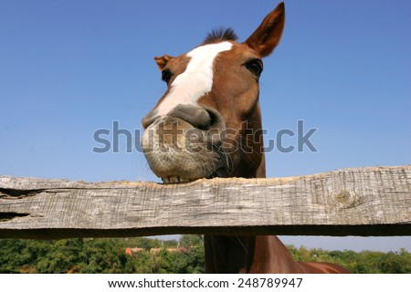 Funny closeup of a purebred  horse looking at the camera as chewing the corral fence - stock photo