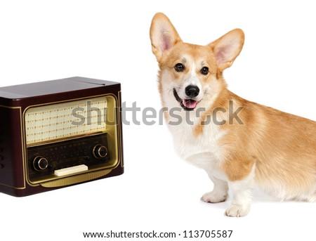 Funny corgi pembroke in studio in front of a white background - stock photo