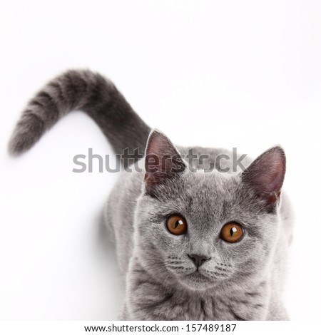 funny curious animal/charming young british cat - stock photo