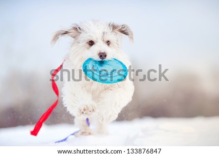 funny curly dog running towards the camera with toy and colored ribbons fluttering in the wind - stock photo