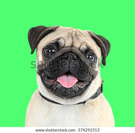 Funny, cute and playful pug dog on green background - stock photo