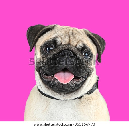 Funny, cute and playful pug dog on pink background - stock photo