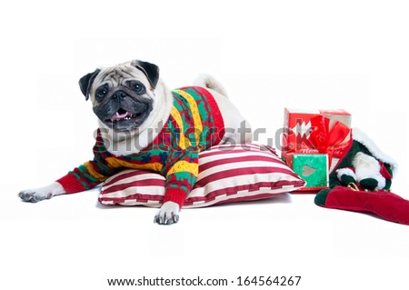 Funny, cute and playful pug dog pet wearing warm wollen knitted sweater, lying on the cushion, Christmas presents round it, smiling with toothy smile, looking at camera. Isolated on white background - stock photo