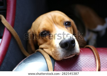 Funny cute dog in car close up - stock photo