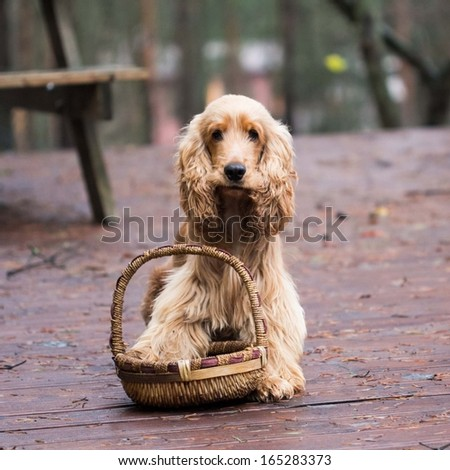 Funny, cute dog with long ears, a Golden Cocker Spaniel, walking outdoor - stock photo