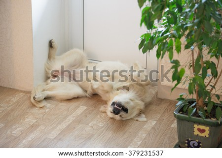 Funny cute golden retriever dog sleeping upside down indoors - stock photo