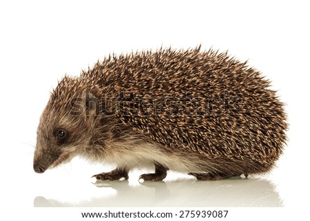 Funny cute Hedgehog isolated on white background - stock photo