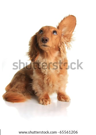Funny dachshund dog listening to music. - stock photo