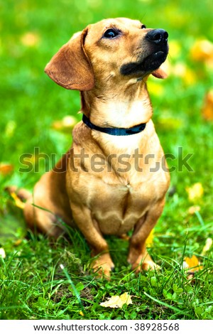 Funny dachshund puppy sit on green grass with autumn maple leaves - stock photo